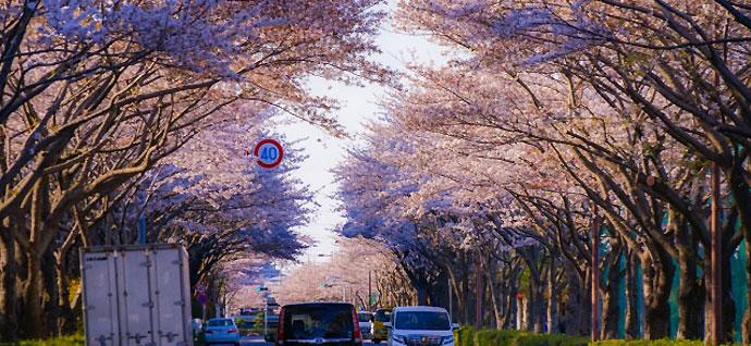 府中市の桜並木の風景